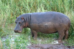 A hippo in tall grass.