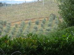 Curina ,ulivi e vigne