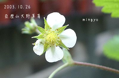 亞歷山大野草莓_花