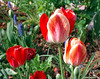 Toronto Tulip