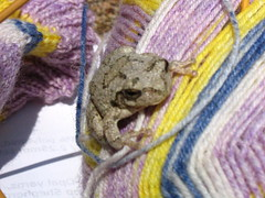 grey tree frog on sock yarn
