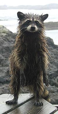 Wet Raccoon