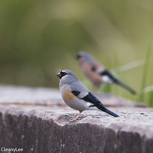 0019灰鷽 Grey-headed Bullfinch