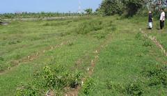 Penanaman rumput gajah di Tegal Tengah, Cijayana - 2