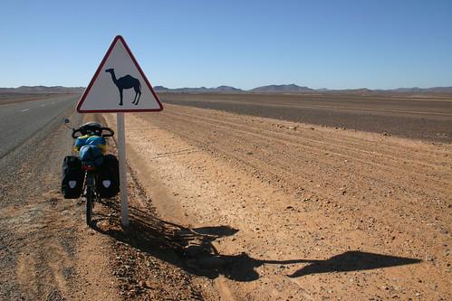 Camels ahead!