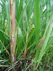 Batang berwarna kemerah merahan merupakan ciri kultivar Taiwan (Cijayana)