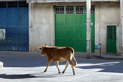 Cows still roam the main thoroughfare of El Cargadero