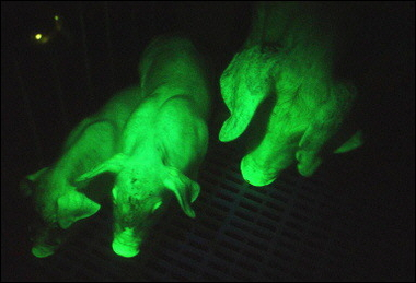 Glow in the Dark Pigs
