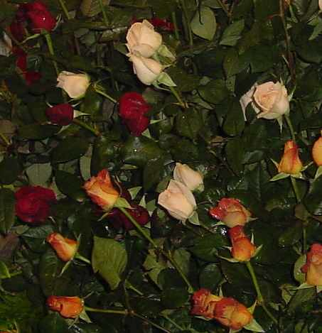são rosas