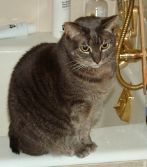 Boo, a grey tabby cat, poses nicely in the bathroom.
