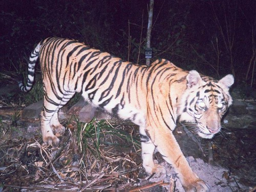 Wild tiger in Senepis forests of Riau, Sumatra - photo by STCP