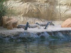 Penguin2 Kat Dlm Sydney Aquarium, Sydney, Australia