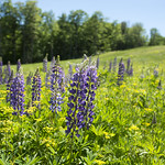 6/14/17 The beautiful lupines are blooming in Franconia Notch