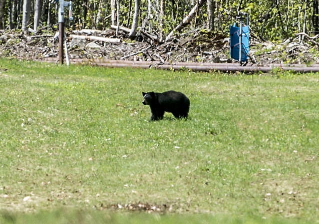 5/23/17 The ski slopes are turning green and the black bears are loving it!
