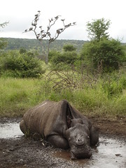 A dead rhino killed in Kruger by a poacher from Mozambique