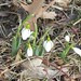 closeup of snowdrops