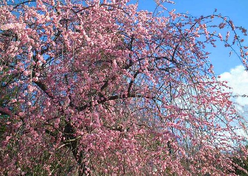 ★春の散歩 <枝垂れ梅>