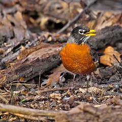 North American Robin Redbreast (Ann Arbor, Michigan) photo by gregory lee