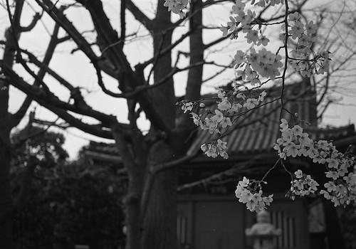 桜・桜・桜
