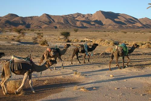 Dromedaries at sunset, near Alnif