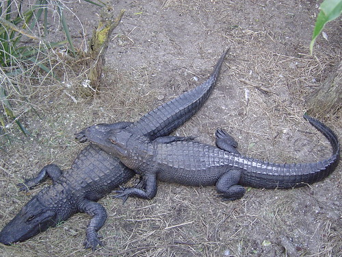 Alligator Love