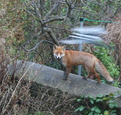Fox being mobbed by a magpie
