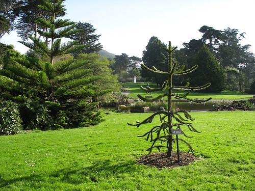 Auracaria Araucana