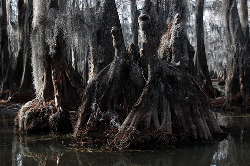 Caddo Cypress Knees