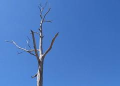 dead tree big