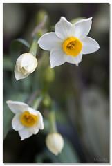 Daffodil in garden