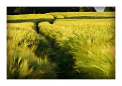 Barley photo by pentlandpirate