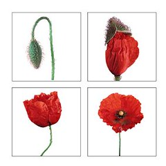 nuridsany-and-perennou-claude-and-marie-la-metamorphose-du-coquelicot-2203154