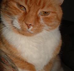 Spike: orange cat