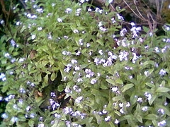Forget Me Nots Butano.jpg
