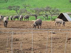 blackfoot pigs