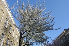 Balfe Street - Blossom