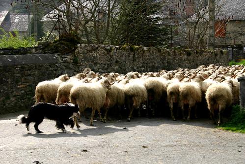 sheep herding in the street