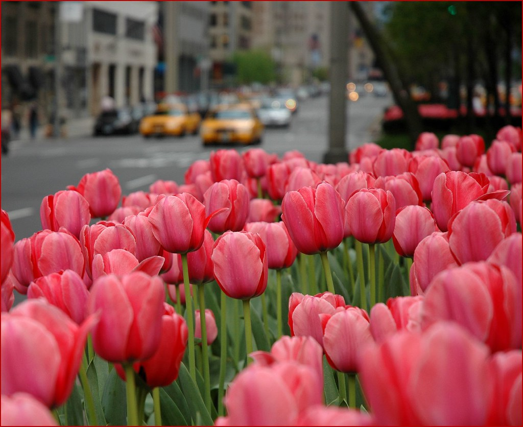 Tulips on Park Ave
