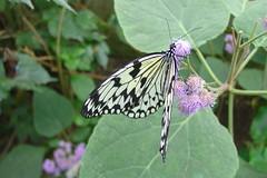 Butterflies #3