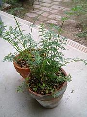 鉢植えのミニニンジン