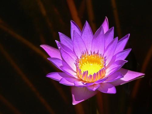 פרח סגול