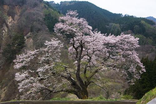 駒つなぎの桜1