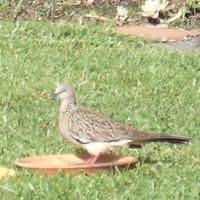 barbary dove 1