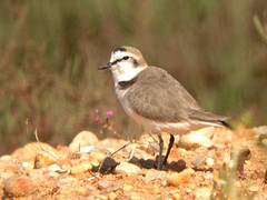Kentish Plover, Montenegro ETAR Waterworks (Portugal), 15-Apr-06