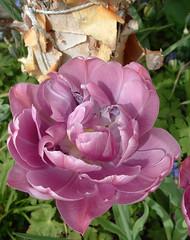 tulip & birch