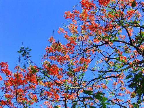 Fire Tree in Bloom