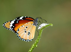 Butterfly (Plain Tiger) photo by P. Thyaga Raju