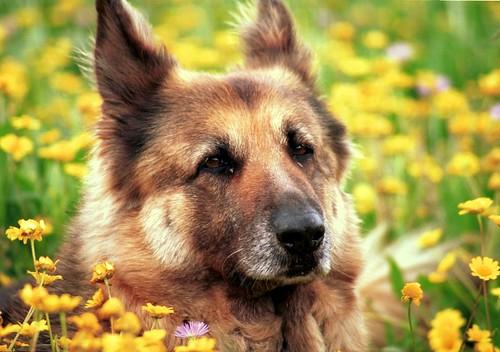 Duitse herder Rocky verricht heldendaad