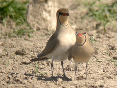 Collared Pratincole, Ponta da Erva (Portugal), 19-Apr-06