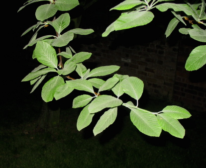 Night Leaves 4